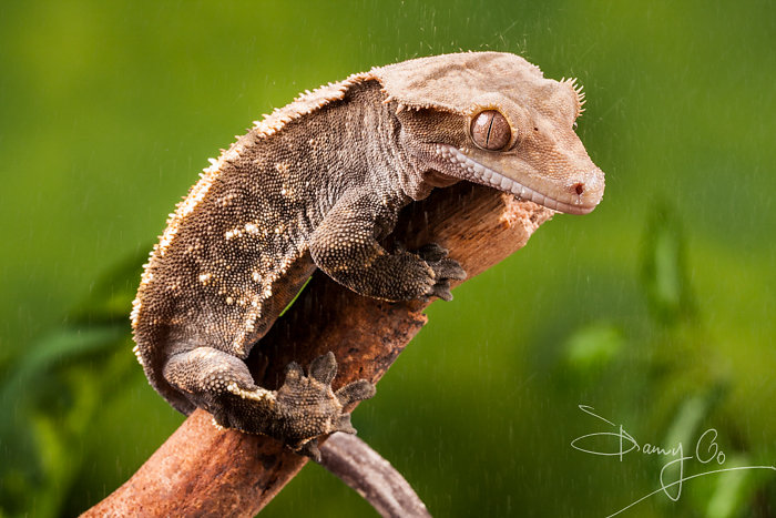 New Caledonian Crested Gecko