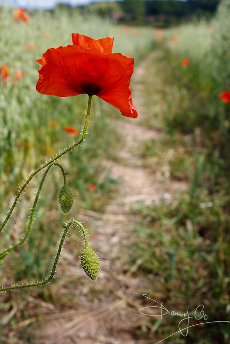 Single Common Poppy